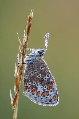 Brown Argus Butterfly Poster by Heath Mcdonald