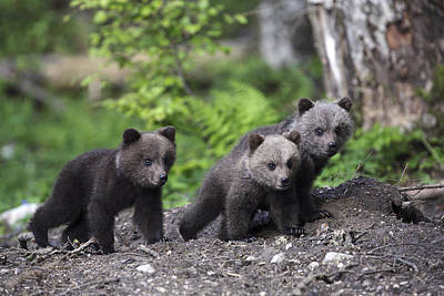Brown Bear Cubs Croatia Poster by Lesley van Loo