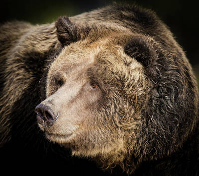 Brown Bear, Grizzly, Ursus Arctos, West Poster