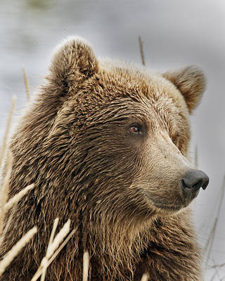 Brown Bear In Deep Thought Poster by Gary Langley