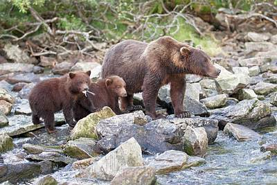 Brown Bear Mother And Cubs Poster by John Devries