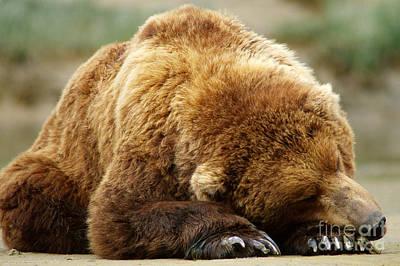 Brown Bear Sleeping Poster