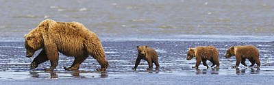 Brown Bear Sow And Her Three Cubs Poster