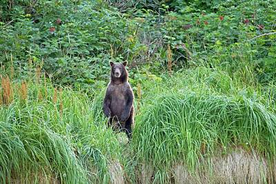 Brown Bear Standing In Grass Poster