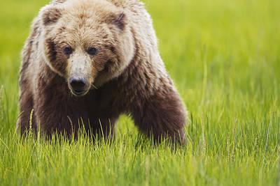 Brown Bear Up Close At Lake Clarke Poster by Richard Wear
