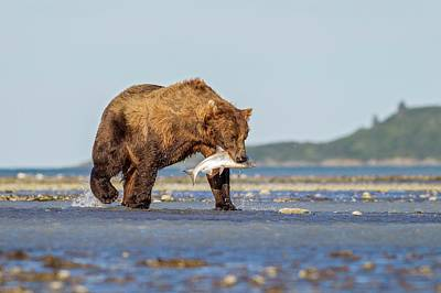 Brown Bear With Salmon Poster by John Devries