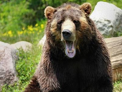 Brown Bear Yawn Poster