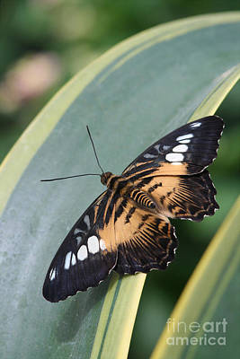 Brown Clipper Butterfly #4 Poster by Judy Whitton