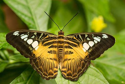 Brown Clipper Butterfly Poster by Doug McPherson