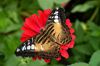 Brown Clipper Butterfly On Red Zinnia Poster by Eva Kaufman