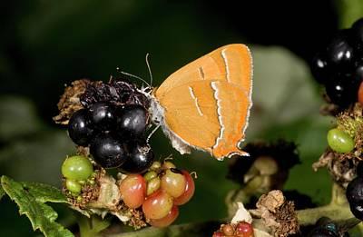 Brown Hairstreak Butterfly On Blackberry Poster