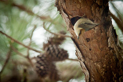 Brown Headed Nuthatch Poster by Linda Unger