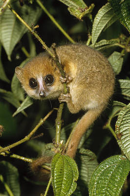 Brown Mouse Lemur  Madagascar Poster by Konrad Wothe