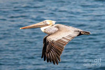Brown Pelican Flying Poster by Darleen Stry