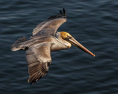 Poster featuring the photograph Brown Pelican Flying by Lee Kirchhevel