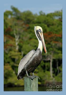 Brown Pelican Poster by Heidi Hermes