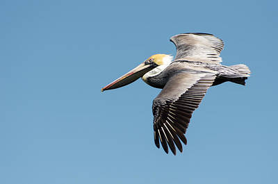 Brown Pelican In Flight Poster by Gregg Southard