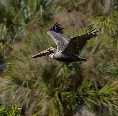 Brown Pelican - In Flight Poster by Kim Hojnacki