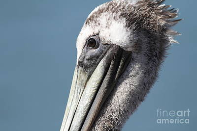 Brown Pelican In Profile 7d21771 Poster by Wingsdomain Art and Photography