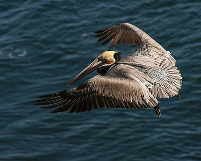 Poster featuring the photograph Brown Pelican Landing by Lee Kirchhevel