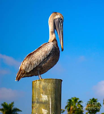 Poster featuring the photograph Brown Pelican - Pelecanus Occidentalis by Carsten Reisinger