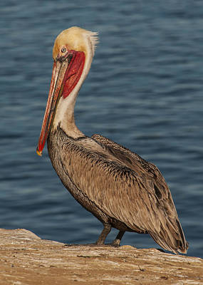 Poster featuring the photograph Brown Pelican Portrait 2 by Lee Kirchhevel