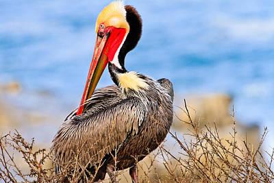 Brown Pelican Posing Poster