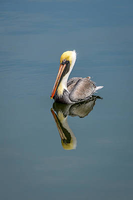 Brown Pelican Reflection Poster