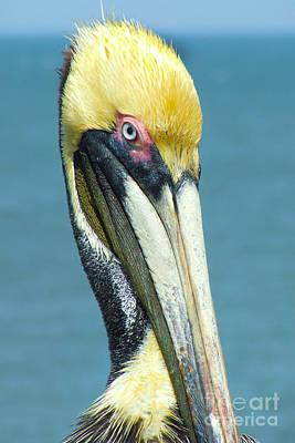 Brown Pelican Poster by Stuart Mcdaniel