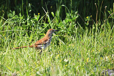 Brown Thrasher 3 Poster by Gary Hall