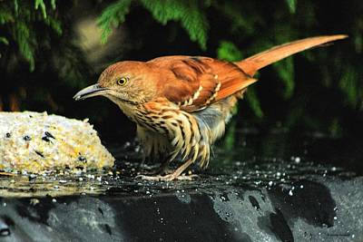Poster featuring the photograph Brown Thrasher by Dennis Baswell