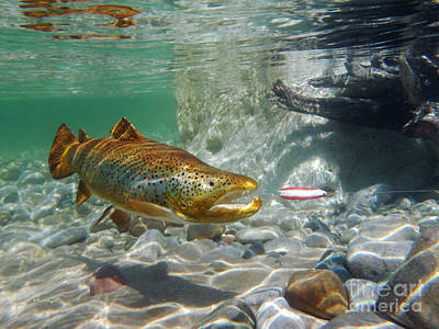 Brown Trout With Red And White Spoon Poster by Paul Buggia