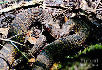 Poster featuring the photograph Brown Water Snake by Kathy Baccari