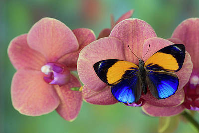 Brush-footed Butterfly, Callithea Poster by Darrell Gulin