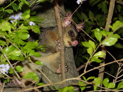 Brushtail Possum Poster by Dani Katz