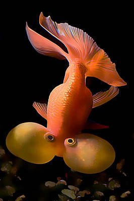 Bubble Eye Goldfish Poster by Wernher Krutein