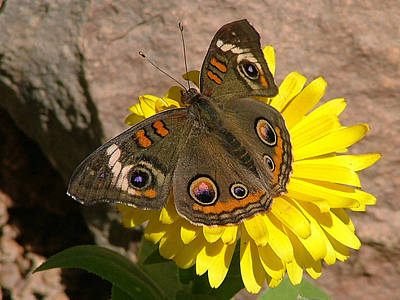 Buckeye Butterfly On Yellow Flower And Rock - 101 Poster