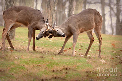 Poster featuring the photograph Bucks Fighting 1 by Brenda Bostic