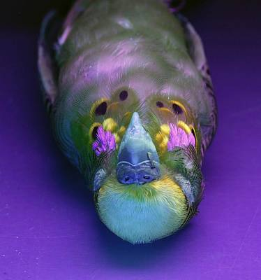 Budgerigar Under Uv Light Poster by Science Photo Library