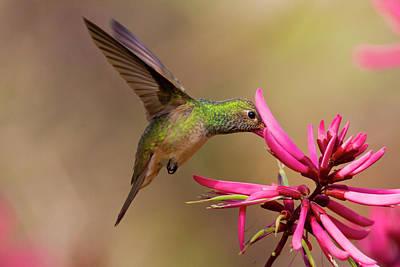 Buff-bellied Hummingbird (amazilia Poster