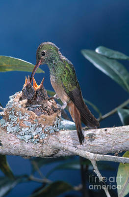 Buff-bellied Hummingbird At Nest Poster by Anthony Mercieca