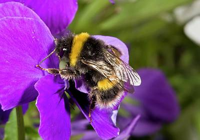 Buff-tailed Bumblebee On A Pansy Poster
