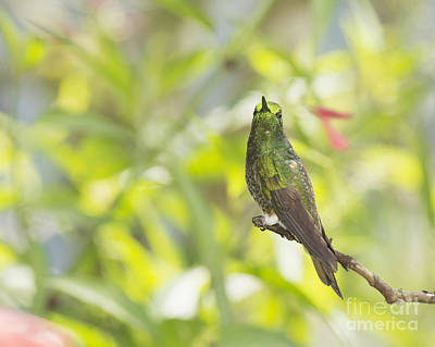 Buff-tailed Coronet Hummingbird Poster