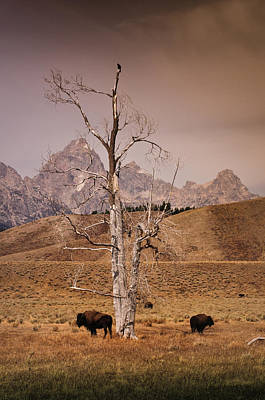 Poster featuring the photograph Buffalo And Tetons by Janis Knight