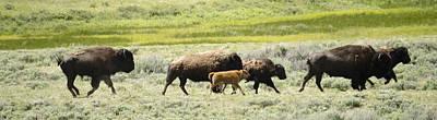 Buffalo Family Poster
