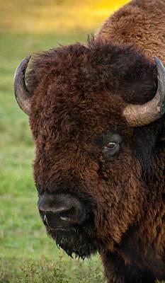 Buffalo Portrait Poster