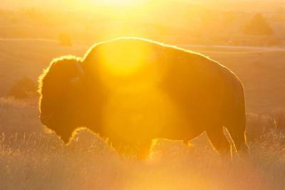 Poster featuring the photograph Buffalo Sunrise by Kevin Bone