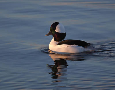 Bufflehead Duck Poster