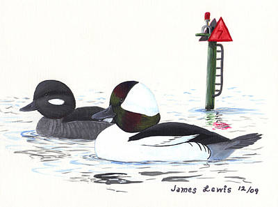 Bufflehead Pair On A Calm Afternoon Poster by James Lewis