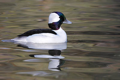 Poster featuring the photograph Bufflehead by Tyson and Kathy Smith